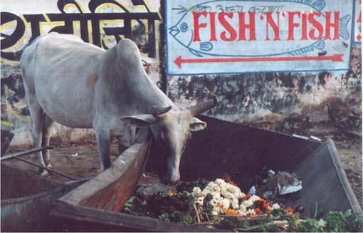 fish n fish and Indian cow