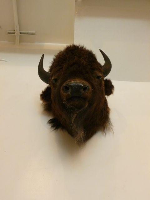 buffalo or bison head at melrose place hair salon LA