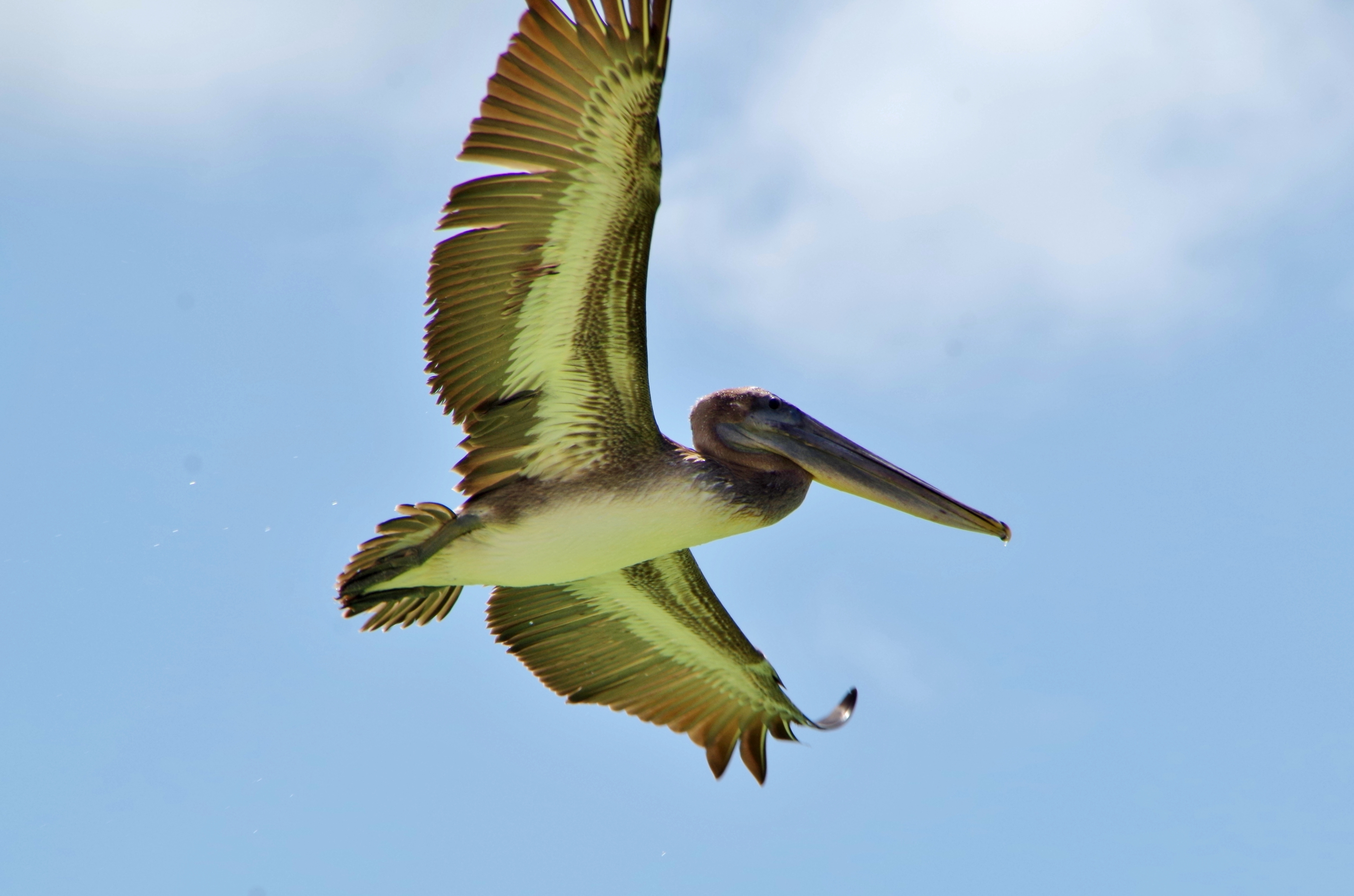 American pelican celestun Mexico