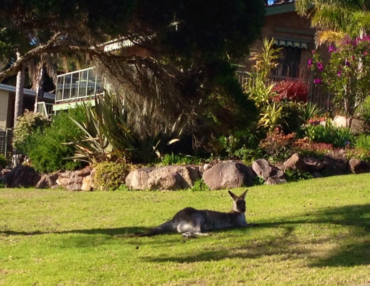 kangaroo on lawn pambula beach NSW australia