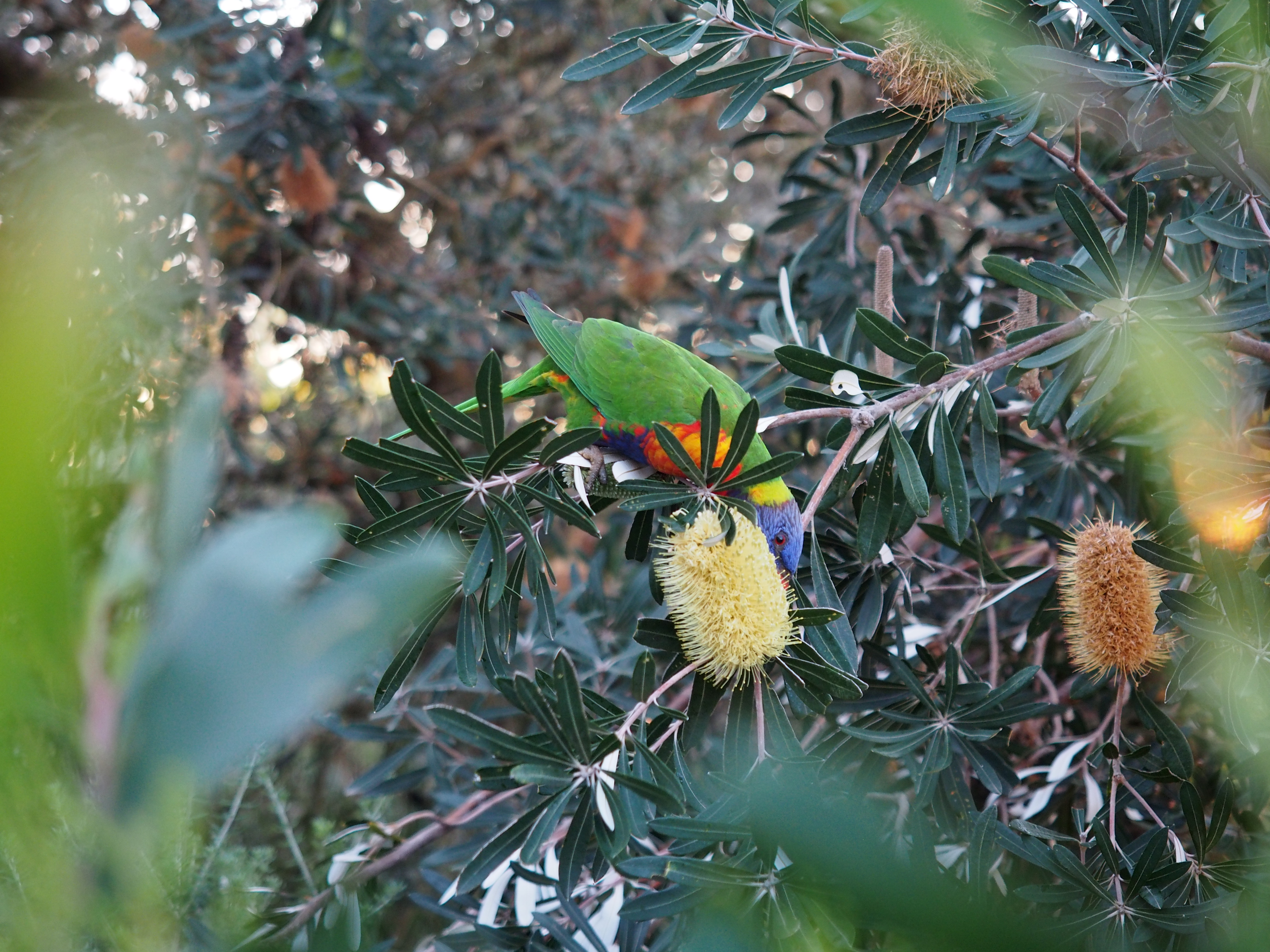 Lorikeet eating nectar