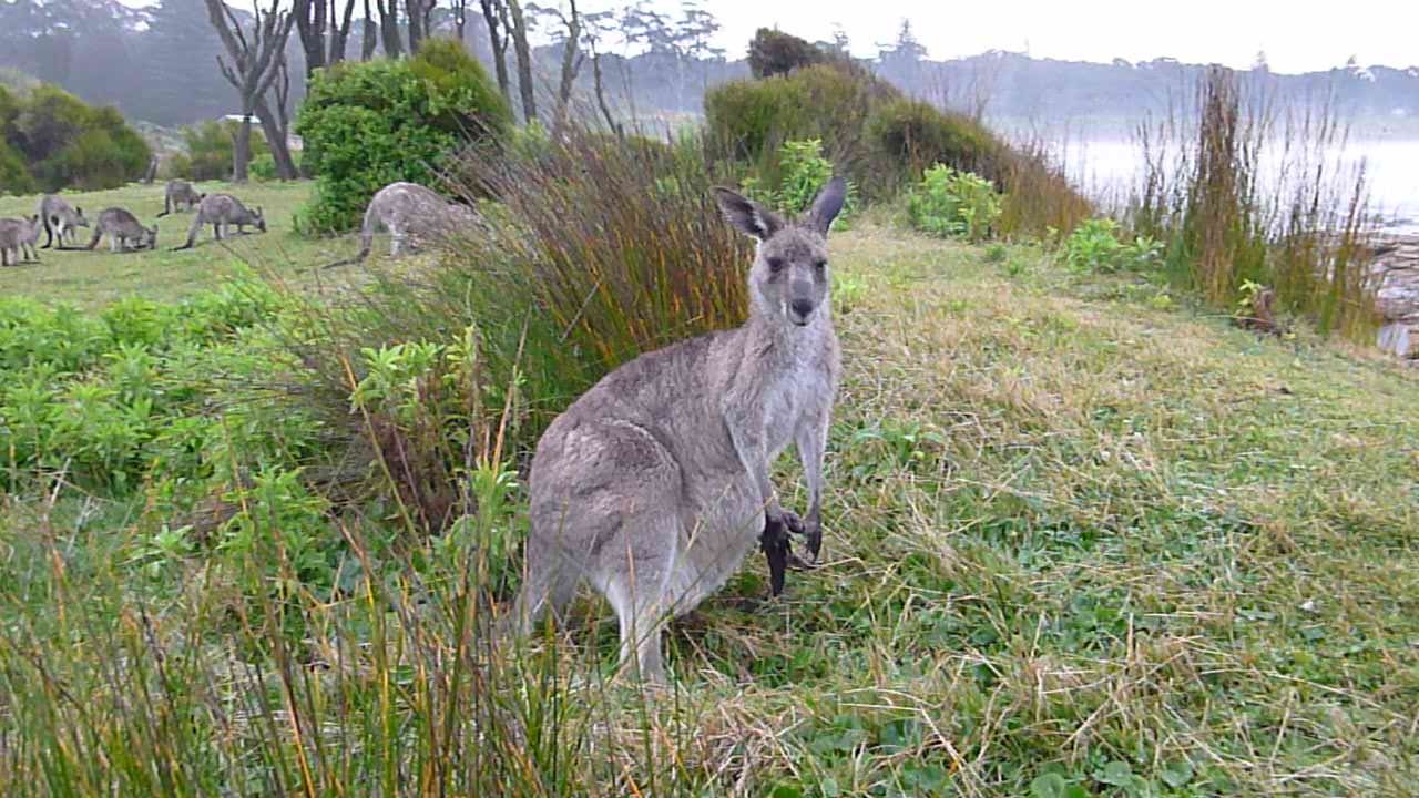 kangaroos by beach