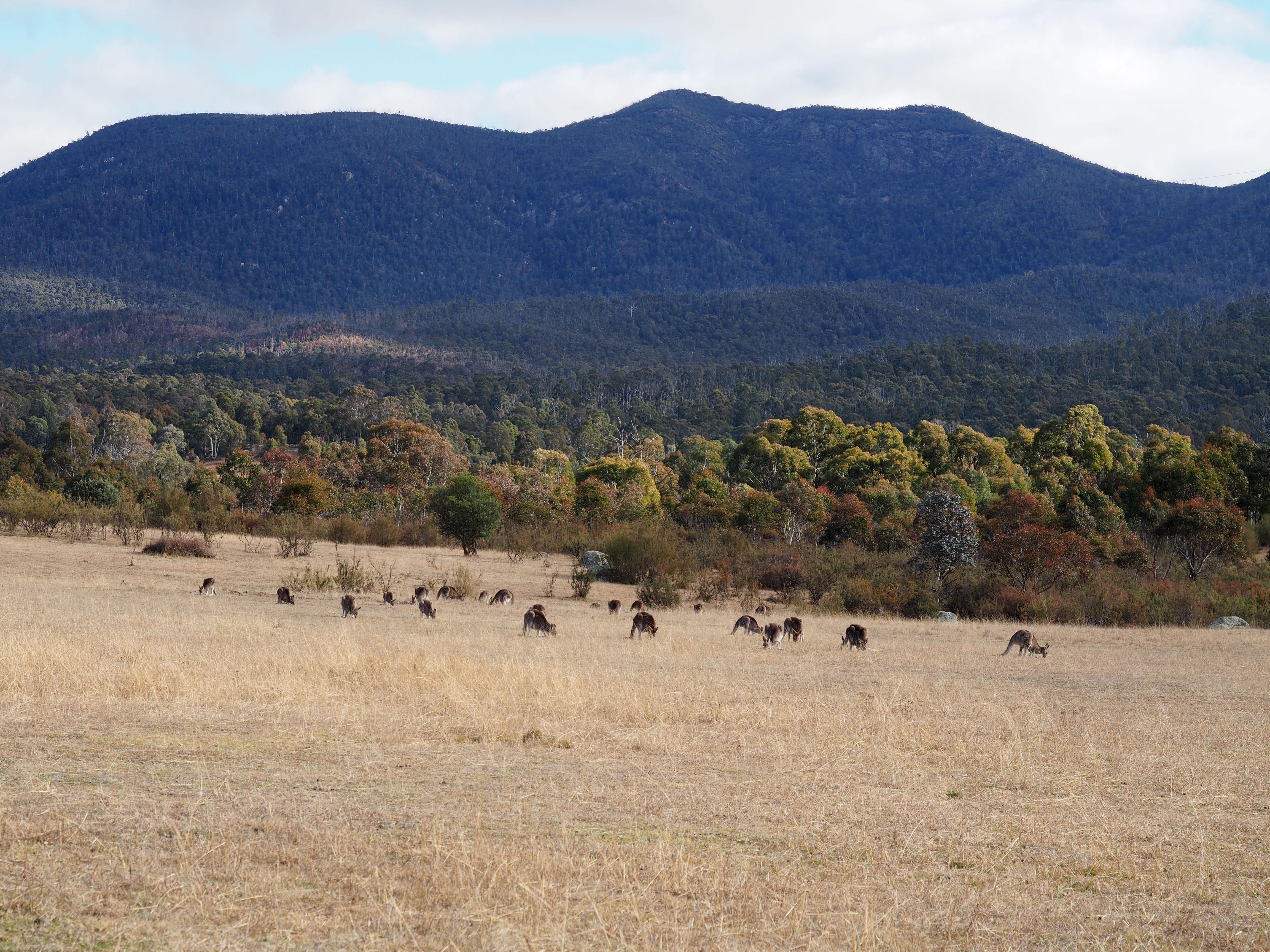 kangaroos tidbinbilla, ACT