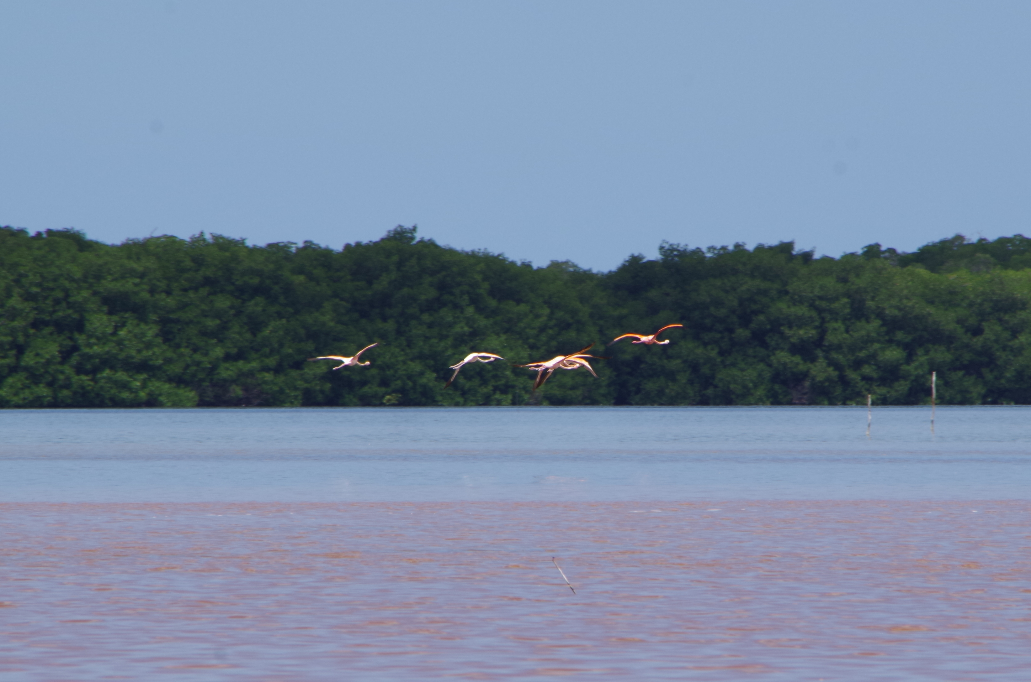 flamingos flying celestun mexico