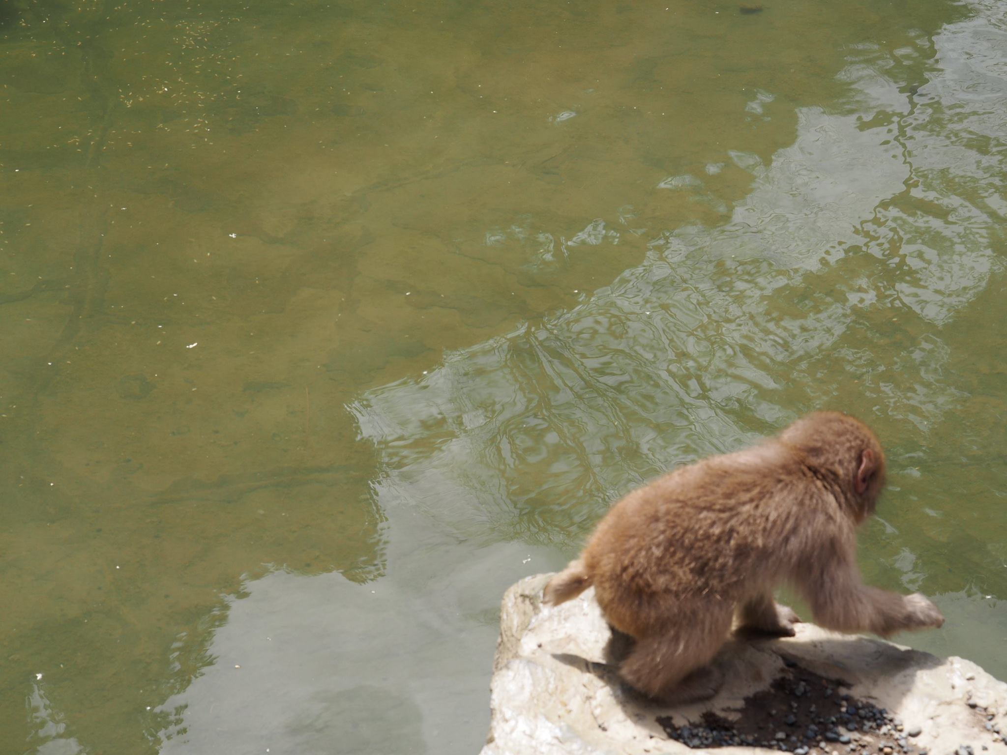 baby macaque at snow mokey park onsen