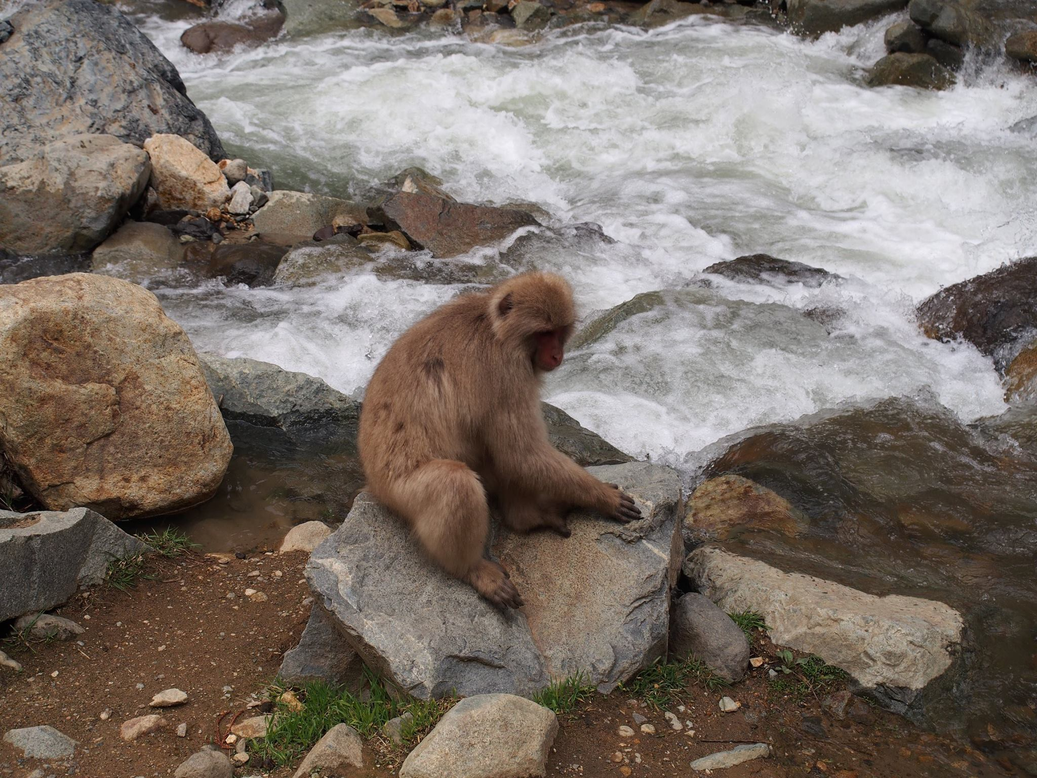 macaque snow monkey sitting in front of stream