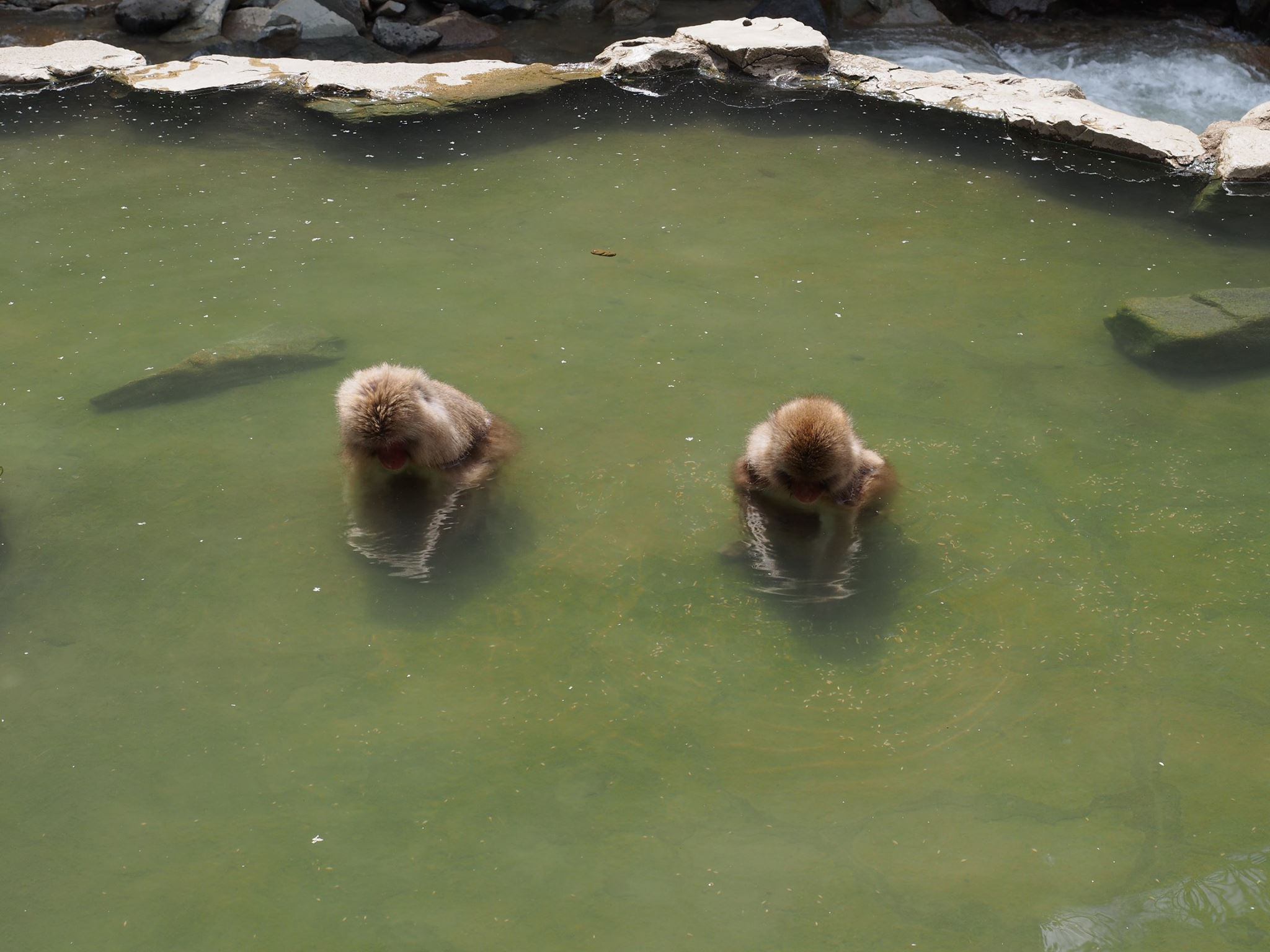macaque snow monkeys in water onsen