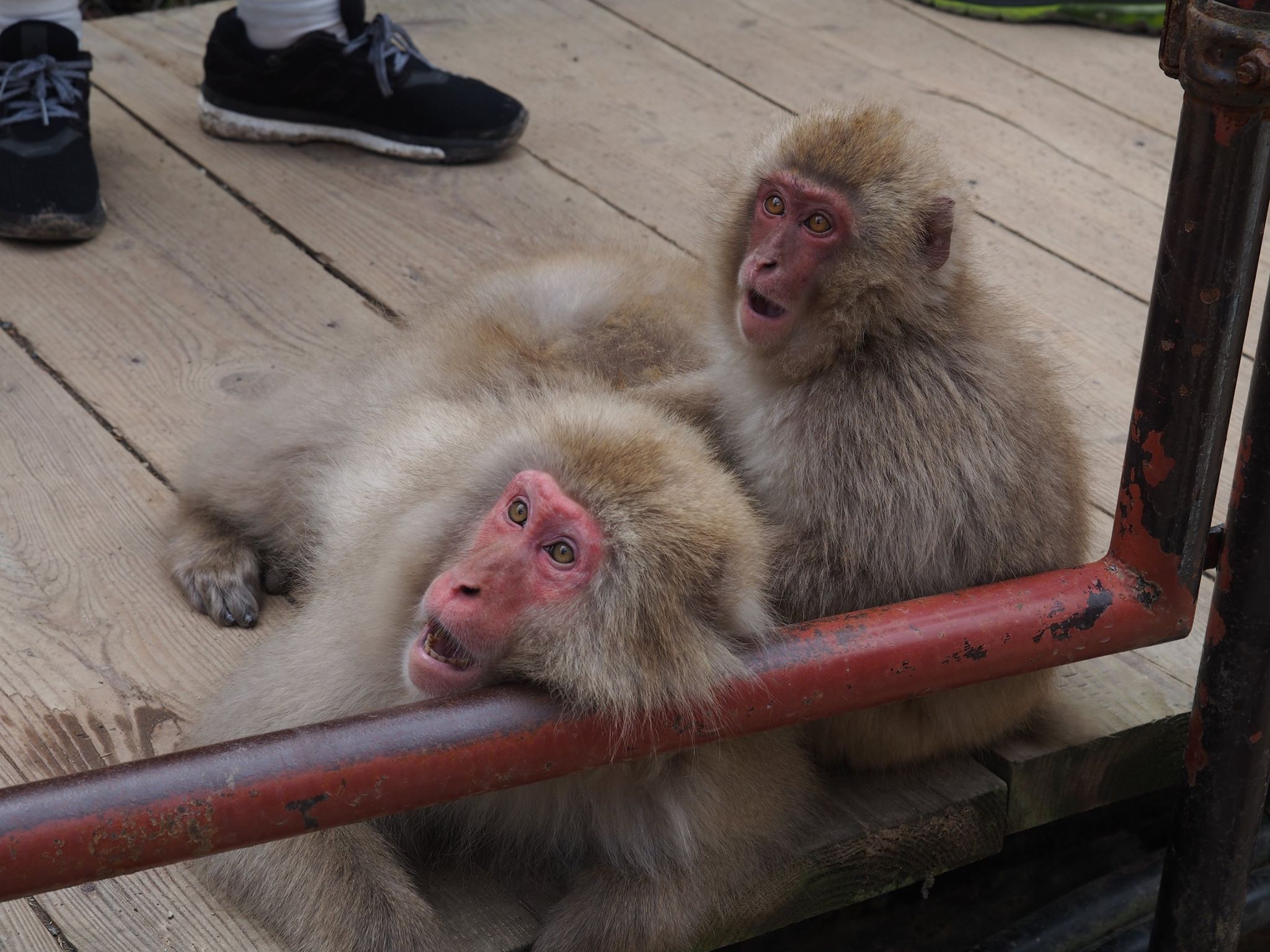 surprised macaque snow monkeys