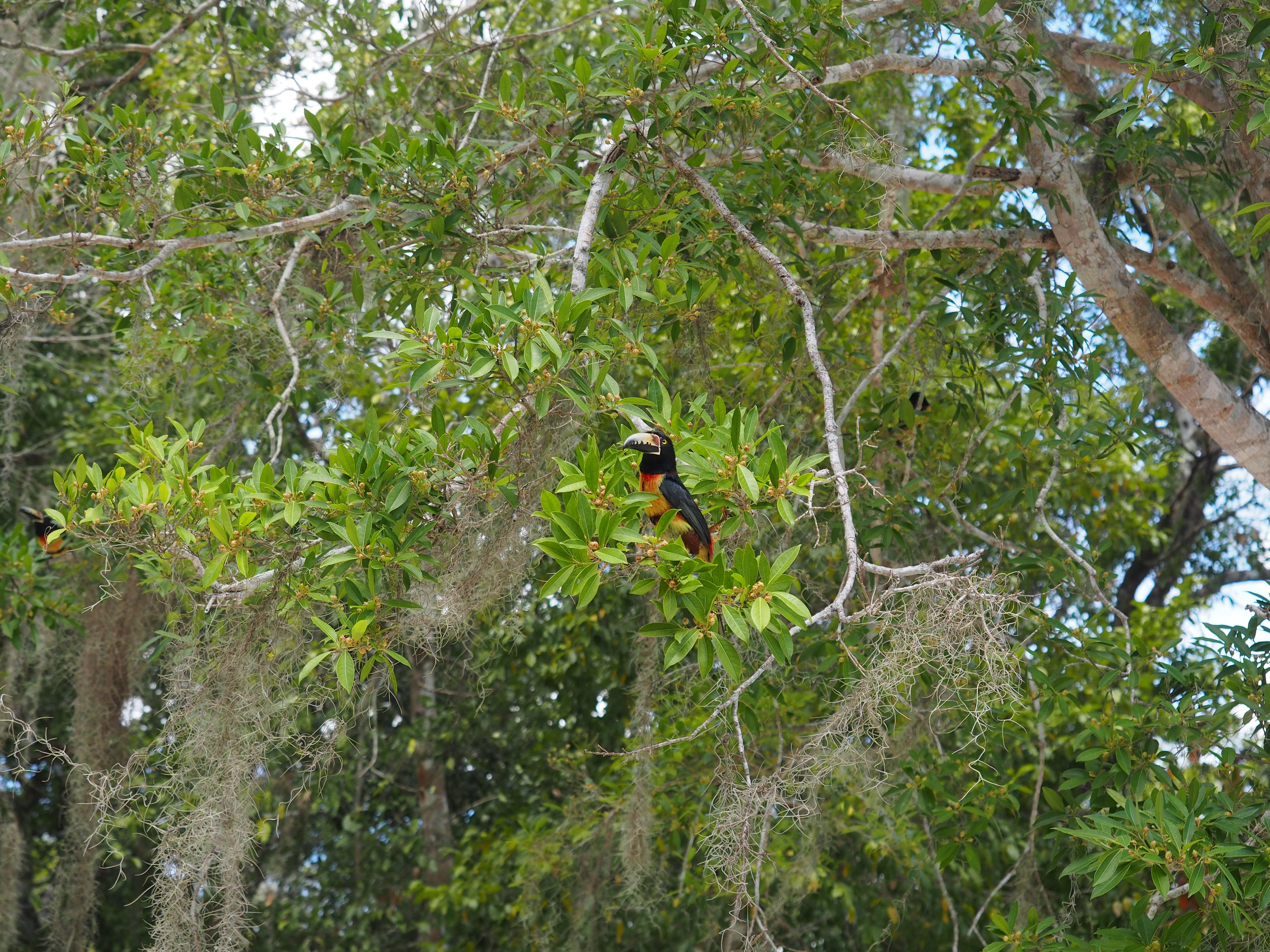 Toucan Calakmul Mexico