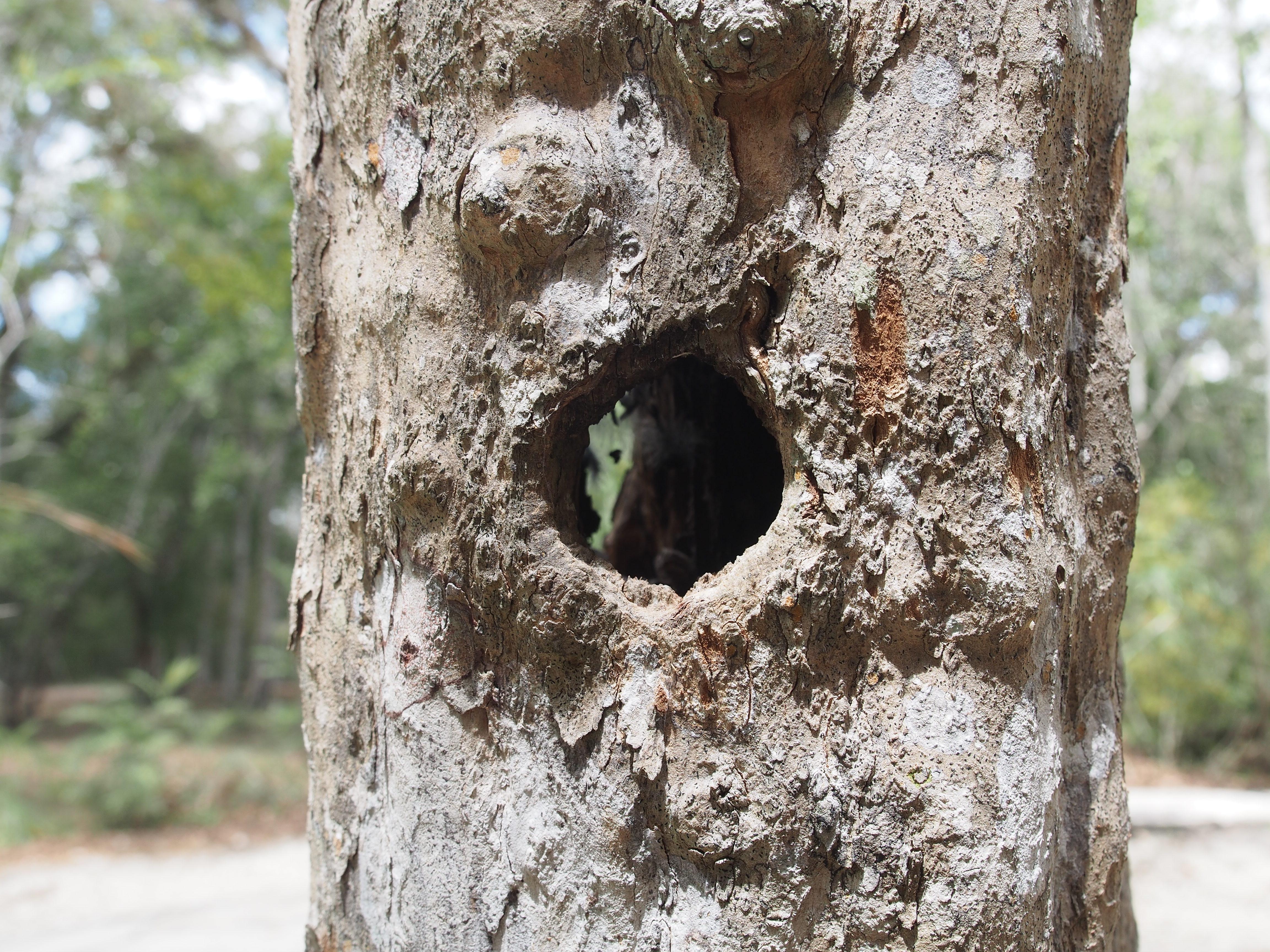 woodpecker calakmul mexico